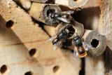 Wildbienen im Gedränge am Nest - 207742577