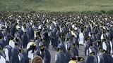 King Penguins at South Georgia - 207748311