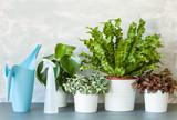 houseplants Asplenium nidus, peperomia and fittonia in flowerpots - 207748901