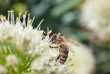 The bee collects pollen from a blossoming white garlic flower - 207748932