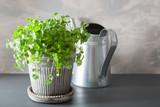 fresh cilantro herb in pot - 207748994