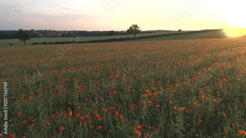 Field Full Of Flowering Poppies at Sunset
