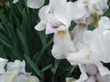 White iris, garden flower close-up.