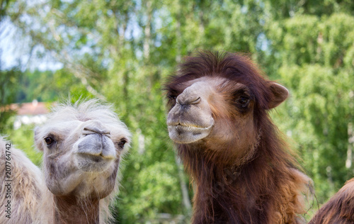 Canvas Kameel Portrait of white and brown Bactrian camel