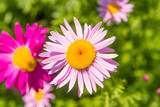 Beautiful flower Pyrethrum, top view, close-up