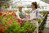 Senior and young women working together in flower garden at sunny day - 207786598