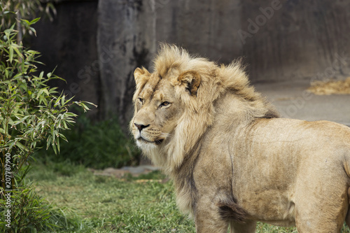 Canvas Lion African Lion Portrait