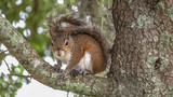 Squirrel in Tree on branch - 1 - 207790199