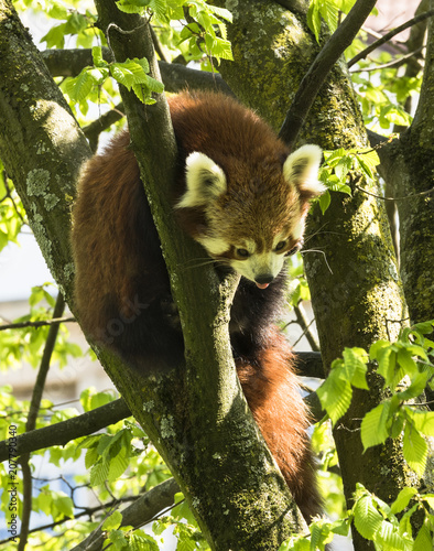 Fotobehang Panda Red panda is hanging in the tree
