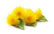 Bouquet of yellow dandelions. - 207791114