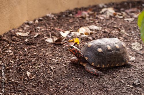 Aluminium Schildpad Red footed tortoise Chelonoidis carbonaria