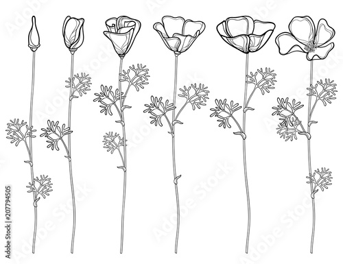 Vector set with outline California poppy flower or California sunlight or Eschscholzia, leaf, bud and flower in black isolated on white background. Contour poppies for summer design or coloring book. - 207794505