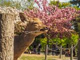 Deer at Nara Park biting on chain