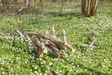 Many white wood anemone flower in the forest. Latin name: Anemone nemorosa - 207800168