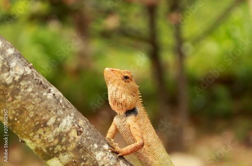 Fototapeta Closeup Thai chameleon on wall with natural green background , Thailand