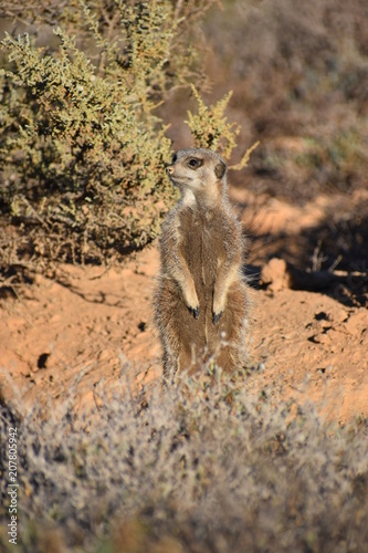 Aluminium Kangoeroe A cute meerkat is sitting in the desert of Oudtshoorn behind a big green tree, South Africa