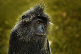 Wild silvered leaf monkey portrait - 207807174