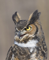 great-horned-owl portrait