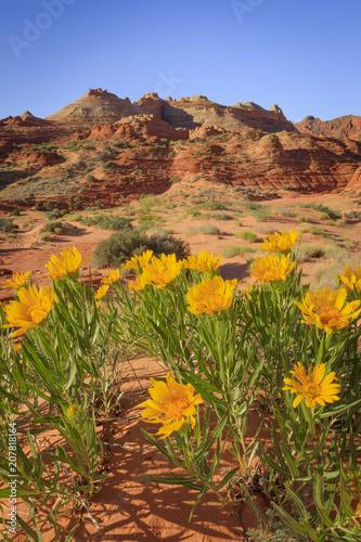 Aluminium Honing Yellow wildflowers in the desert southwest, Utah, USA.