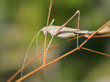 Closeup of grasshopper on grass seen from profile