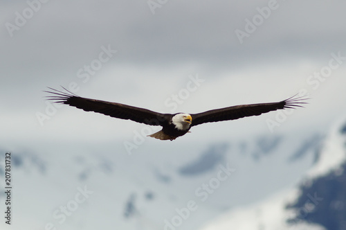 Plexiglas Eagle eagle, bald, american, nature, flying, bird, wildlife, white, animal, raptor, alaska, flight, haliaeetus, leucocephalus, america, feather, prey, fly, head, wing, symbol, background, yellow, majestic,