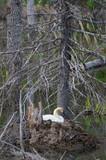 White Swan on nest - 207833350