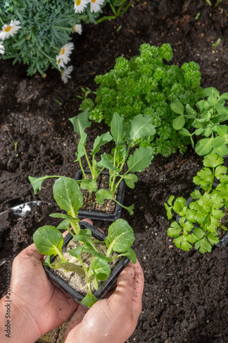 Fotobehang Shanghai Young sprouts of pak choi or pak choy planted in the ground in the garden