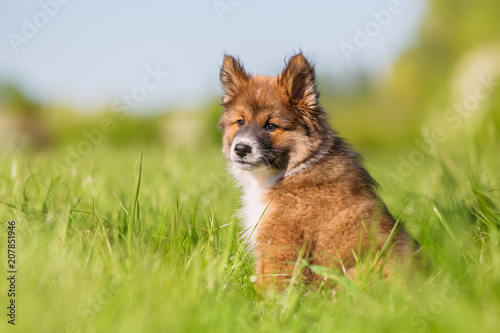 Foto Murales portrait of an Elo puppy