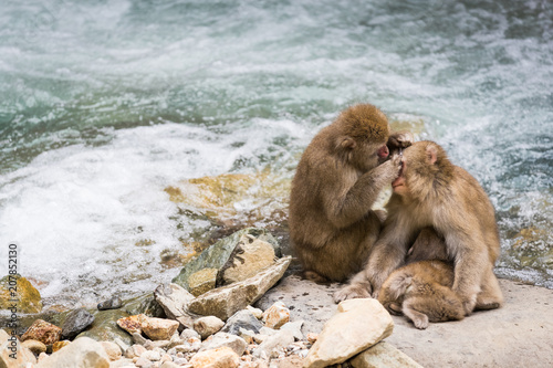Fototapeta Jigokudani Monkey Park , monkeys bathing in a natural hot spring at Nagano , Japan