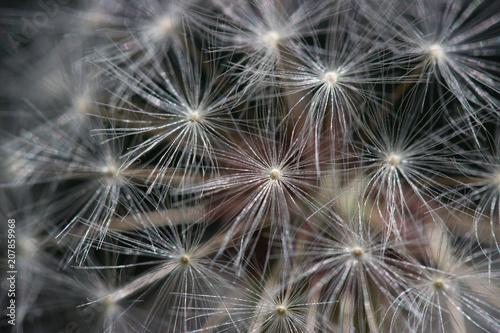 Canvas Paardenbloemen Dandelion seed, Macro, Seed