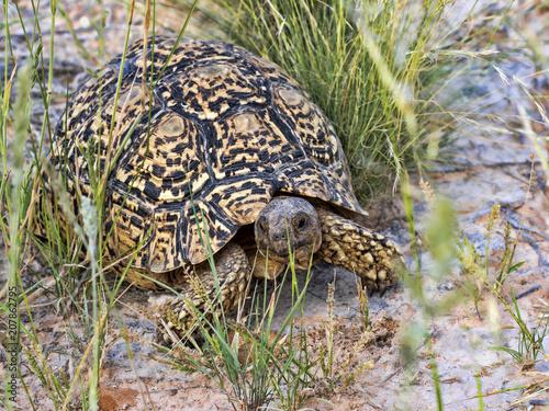 Aluminium Schildpad Leopard tortoise, Stigmochelys pardalis, Kalahari South Africa