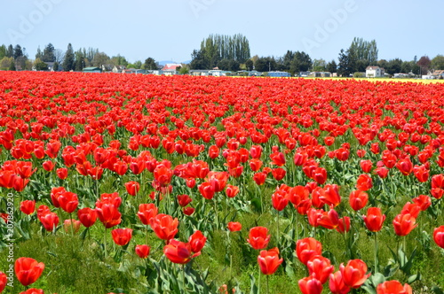 Fotobehang Rood Skagit Valley Red and Yellow Tulips