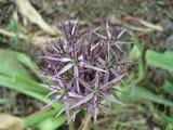 Decorative Allium bow - 207863951