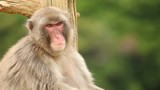 Japanese Macaque shot in the mountains near Kyoto Japan. - 207864750