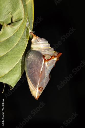 Fotobehang Vlinder Powdered Baron Pupae, Euthalia sp, Nymphalidae, Trishna, Tripura , India