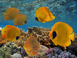 Masked butterfly fish (Chaetodon semilarvatus) and coral reef - 207871781