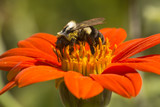 Bumble bee foraging on a bright red dahlia flower. - 207878302