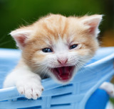 Kitten with Blue Eyes Lying in a Basket Outdoor - 207883154