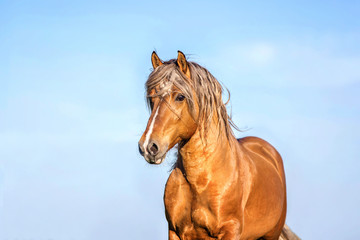 Portrait of a palomino stallion