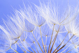dandelion seeds close up blowing in blue background - 207889785
