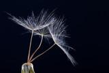 Dandelion seed in black - 207890170