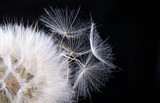 Dandelion seed isolated on a black - 207890323