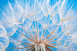 dandelion seeds close up blowing in blue background - 207890547