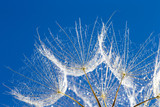 Dandelion with seeds blowing in the  blue sky
