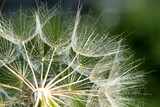Dandelion seeds in the green background - 207890774