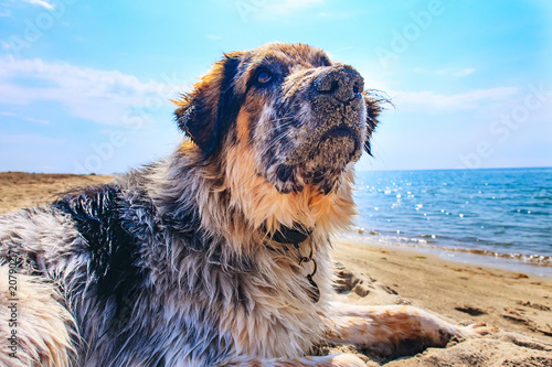 Portrait of white, brown and black large breed dog relaxing at the beach, close-up portrait