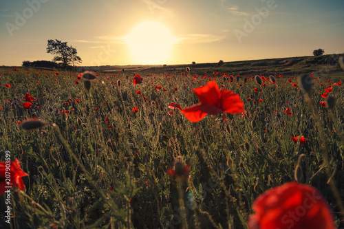 Wonderful landscape during sunrise. Blooming red poppies on field against the sun, blue sky. Wild flowers in springtime. Beautiful natural landscape in the summertime. Amazing nature Sunny scene.
