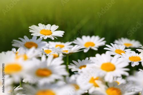 Foto Murales Summer field with white daisy flowers .
