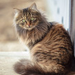 Portrait of a Maine Coon cat in nature