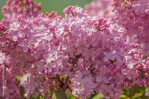 Lilac flowers on a tree in the park